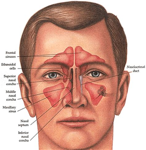 diagram of the sinuses sinus anatomy