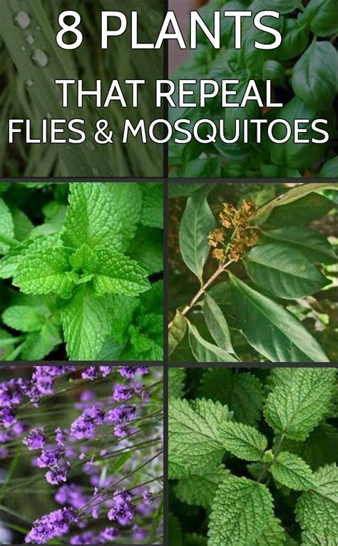 plants that keep away mosquitoes 8 plants that repeal flies and mosquitoes gardentipz com