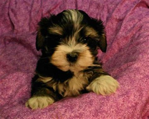 havanese breeders ca black brown and havanese puppies for sale in california lovable friends