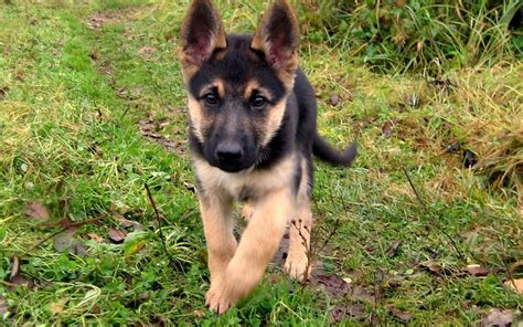 pictures of german shepherd puppies baby german shepherd running 1920x1200 wallpapers german shepherd 1920x1200 wallpapers