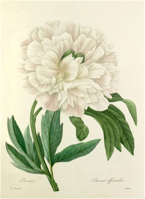 redoute the book of 97 pierre joseph redout 233 pivoine paeonia officinalis peony view by flower rhs prints