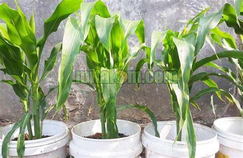 menanam jagung hidroponik 12 tahap mudah menanam jagung di pot polybag agar subur