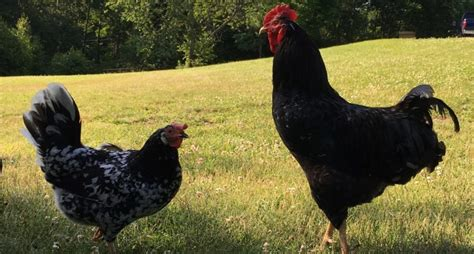 5 ways to prevent salmonella from backyard chickens