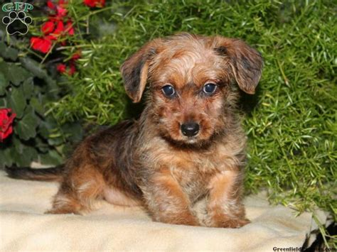 dorkie puppies discover and save creative ideas