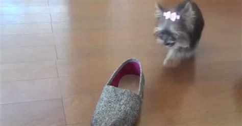yorkie does tricks adorable yorkie puppy does impressive tricks sf globe