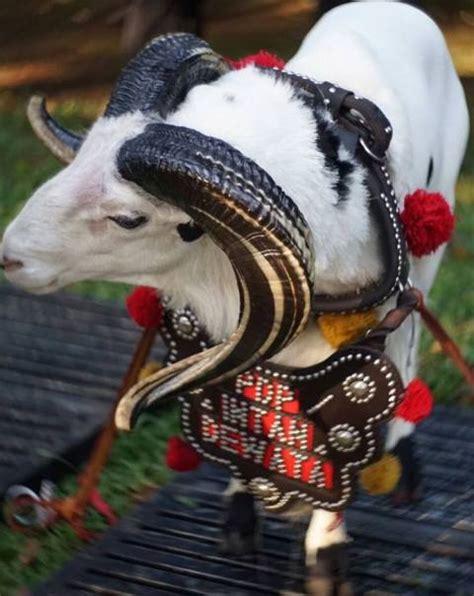 Kambing Etawa Skygoat Asli ciri ciri domba garut domba priayangan asli jawa barat