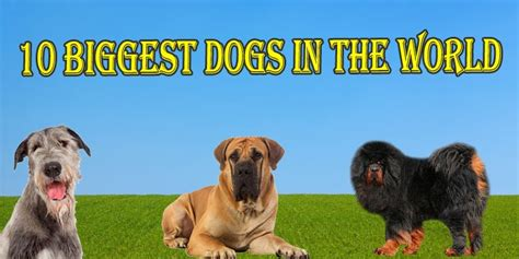 largest in the world dogs 10 dogs breed in the world 2017