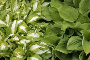 which hostas can grow in full sun or partial shade