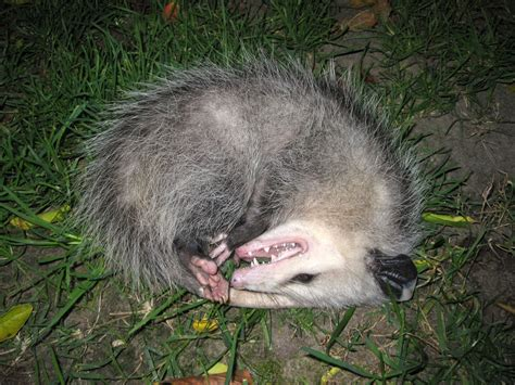plays dead i m not dead opossum plays possum