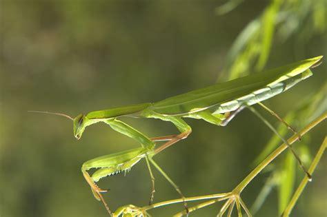 Praying Mantis L by Praying Mantis Facts Praying Mantis For Sale