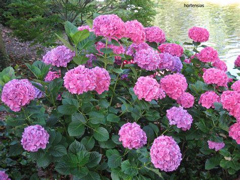 imagenes flores hortensias hortensias fotos de plantas y flores