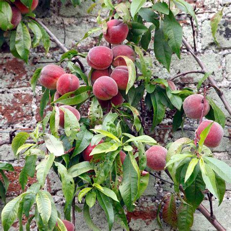 nectarine tree nectarine tree lord all fruit trees fruit trees fruit garden dobies