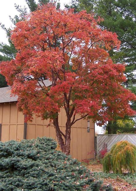 maple tree zone 4 ornamental trees
