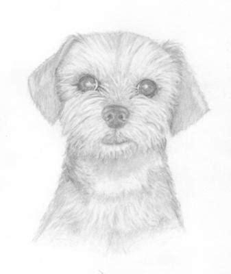 how to draw a yorkie easy lui yorkie poodle