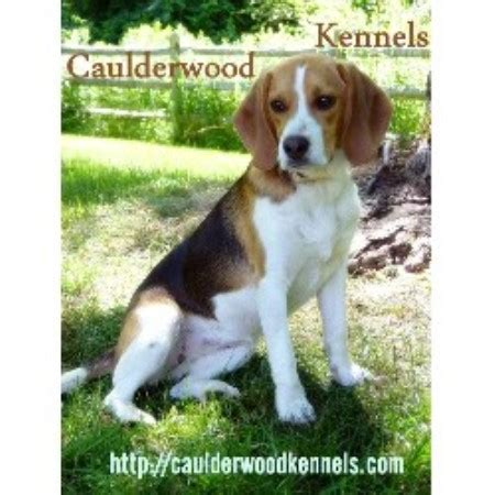 free puppies in tennessee beagle breeders in tennessee freedoglistings