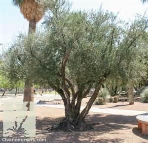 civano nursery gt catalog gt plant gt fruitless olive