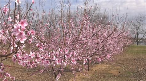 mild winter 2017 what the mild winter means for the 2017 peach crop youtube