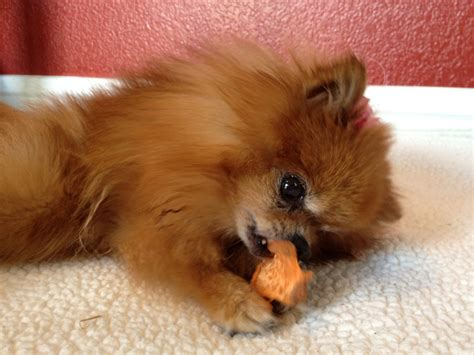what do pomeranians like to play with pomeranians at play pommy