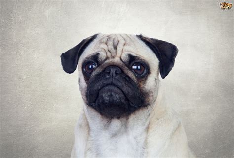 wrinkly breeds 8 adorable wrinkled breeds that will make you smile pets4homes