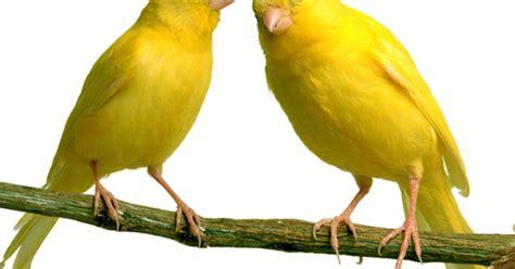 Kaos Cucak Hijau Et 99 burung mozambik green singing finch serinus mozambicus