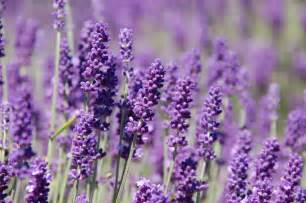 lavender spice of the week high plains spice company