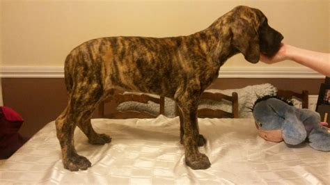 fawn great dane puppies for sale fawn brindle great dane puppies shrewsbury shropshire pets4homes