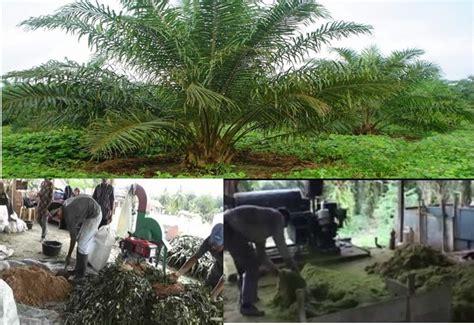 Pakan Ternak Dari Limbah Jagung cara membuat silase pelepah sawit untuk pakan ternak