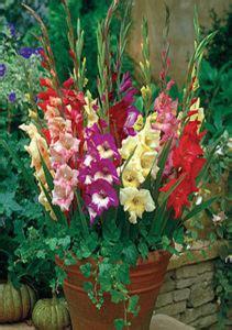 daylilies  australia gladiolus care   store