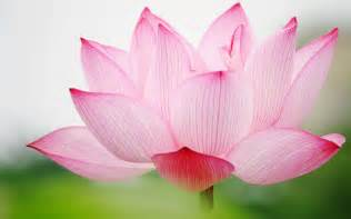 Free Lotus Flower Images Lotus Hd Wallpapers
