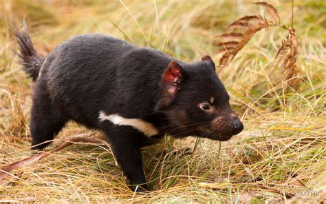 Tasmania Memes - tasmanian devil animal memes