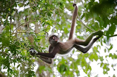 monkeys swinging in a tree spider monkey sean crane photography