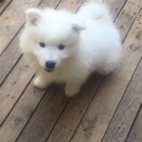 samoyed puppies for sale colorado kennel club registered samoyed puppies for sale cromer norfolk pets4homes