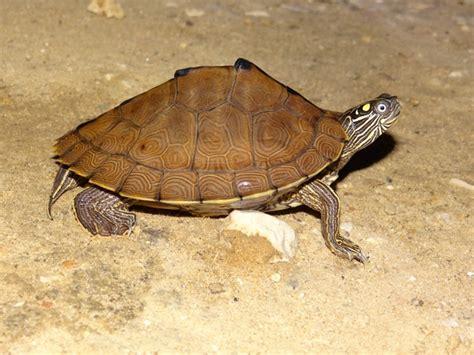 louisiana map turtle sabine map turtle hibians and reptiles of louisiana