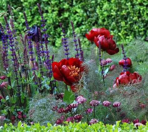 Cox At Chelsea Flower Show by Astrantia Major Claret Cox Garden Designs
