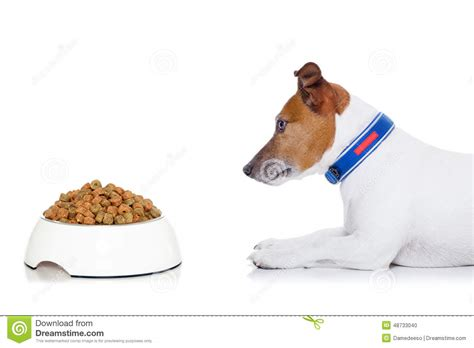 dog eating food from chrome bowl stock photo getty images hungry dog stock photo image of background jack lick