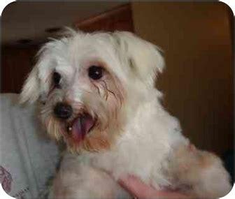 puppies for adoption in denver doodle adopted denver co maltese