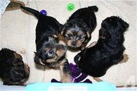 teacup yorkie puppies kentucky adorable adorable puggle puppies for sale sydney pug x beagle take a look at