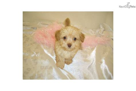 meet katie  cute chi poo chipoo puppy  sale