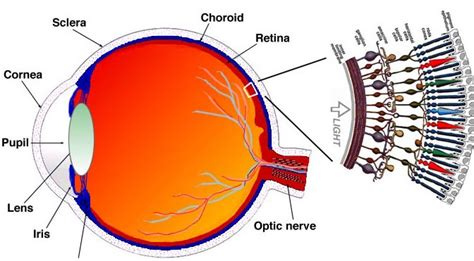 eye section the past present and future of bionic eyes extremetech