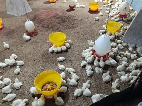 akhirnya kfc  menjual ayam probiotik