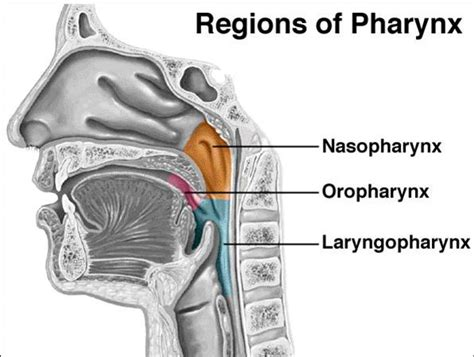 what are the three sections of the pharynx pharynx anatomy