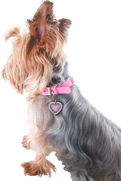 yorkie collars fancy yorkie collars dogs are color blind