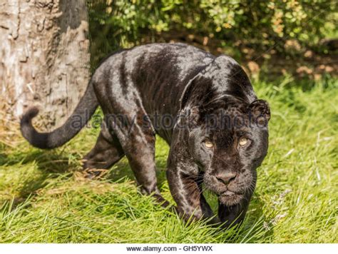 jaguar and cat black jaguar cat