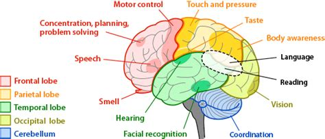 brain sections and what they do brain regions and functions ask a biologist