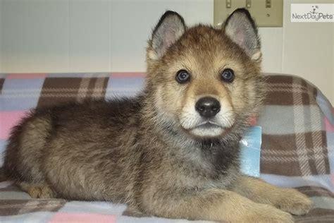 wolf hybrid puppies our wolfy malamute mix pup aww