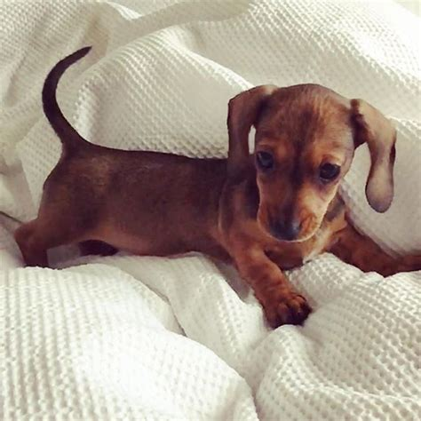 mini dachshund puppy best 25 dachshund puppies ideas on daschund baby puppies and wiener dogs