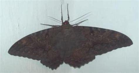 imagenes de mariposas negras grandes regresaron las mariposas negras