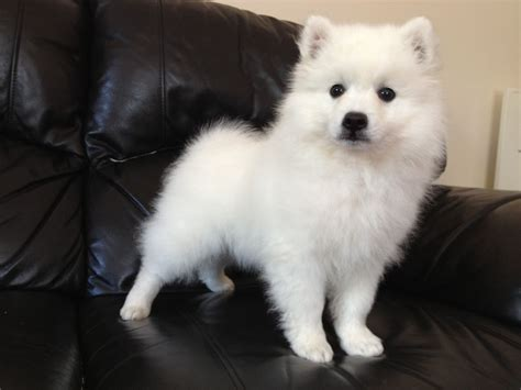 japanese spitz puppies japanese spitz puppies for sale uk breeds picture