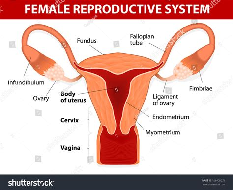 diagram of fallopian and uterus human anatomy reproductive system uterus stock