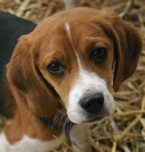 beagle puppy file beagle puppy portrait jpg